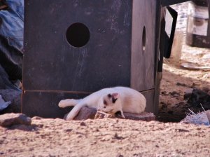 Kitten dozing in the sun at a Fish Camp