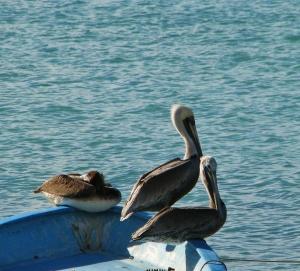 Resting Pelicans